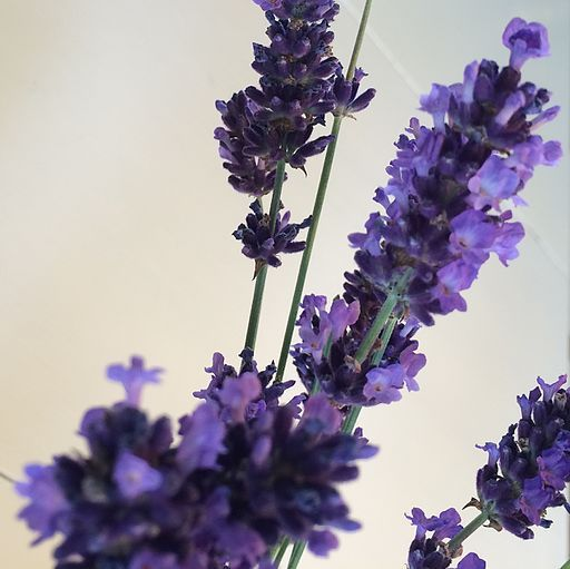 Noted as a natural sleep aid, Lavender can also help you wake up in the morning.